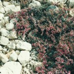 Wild chery bush
